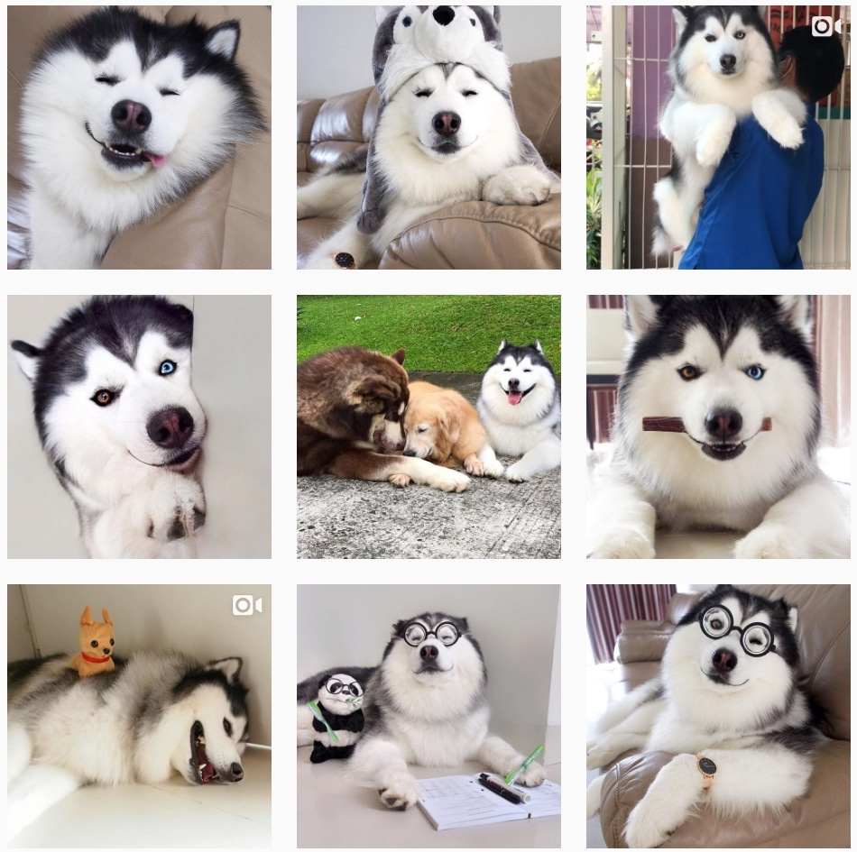 Maru the confused husky being adorable