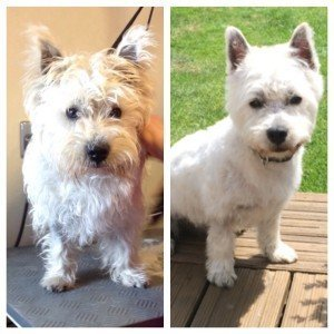 Oscar before and after his trim